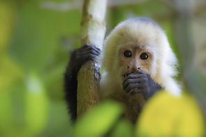 Kapuzineraffe - Capuchin Monkey