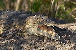 Spitzkrokodil - American Crocodile