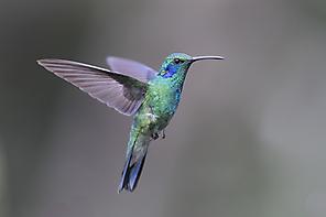 Zwergveilchenohr - Green Violet-ear