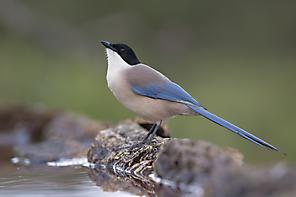 Blauelster