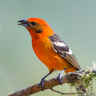 Bluttangare - Flame-colored Tanager