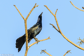 Dohlengrackel - Great-tailed Grackle
