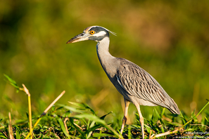 Krabbenreiher - Yellow-crowned Night-Heron