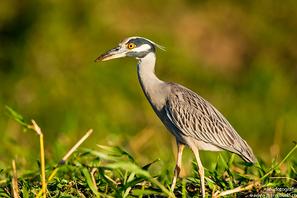 Krabbenreiher - Yellow-crowned Night-Heron