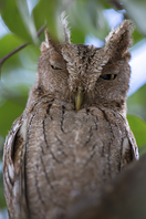 Panamaeule - Vermiculated Screech-Owl
