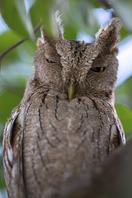 Panamaeule - Vermiculated Screech-Owl