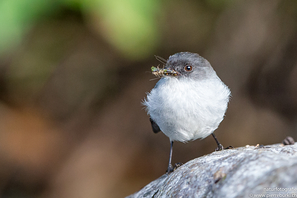 Sturzbachtachuri - Torrent Tyrannulet