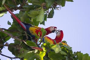 Arakangas - Scarlet Macaws
