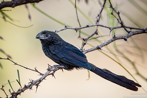Riefenschnabelani - Groove-billed Ani