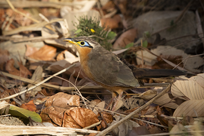Drosselkuckuck - Lesser Ground-Cuckoo