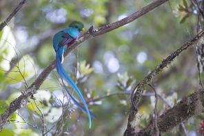 Quetzal - Resplendent Quetzal