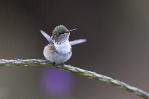 Weisskehlkolibri - Volcano Hummingbird