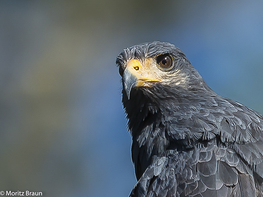 Mangrovebussard - Mangrove Black-Hawk