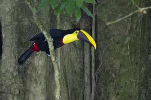 Swainsontukan - Black-mandibled Toucan