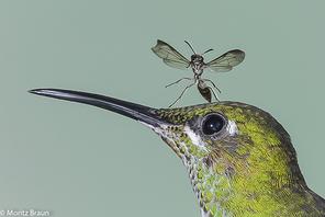 Grünscheitelbrillant - Green-crowned Brilliant