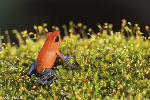 Erdbeerfröschchen - Blue-Jeans Frog