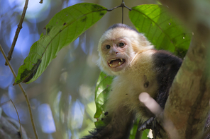 Weissschulterkapuziner - White-faced Capuchin Monkey