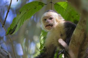 Weissschulterkapuziner - White-faced Capuchin Monkey