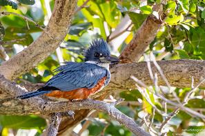 Rotbrustfischer - Ringed Kingfisher