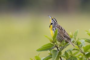 Lerchenstärling - Eastern Meadowlark
