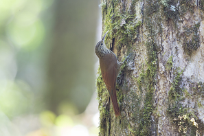 Souleyet Baumsteiger - Streak-headed Woodcreeper