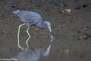 Blaureiher - Little Blue Heron
