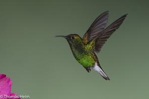 Scharzbauchkolibri - Black-bellied Hummingbird