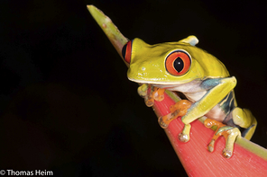 Rotaugen-Laubfrosch - Gaudy-Leaf Frog