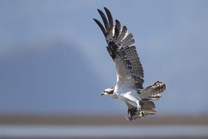 Fischadler - Osprey