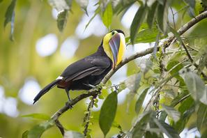 Goldkehltukan - Black-mandibled Toucan