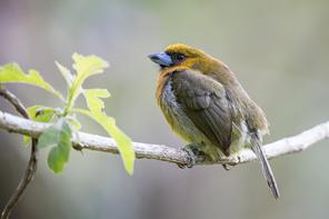 Aztekenbartvogel - Prong-billede Barbet