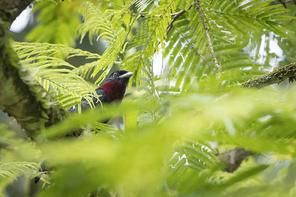 Purpurbrustkotinga - Purple-throated Fruitcrow