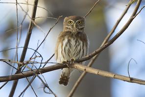 Brasilzwergkauz - Ferruginous Pygmy-Owl