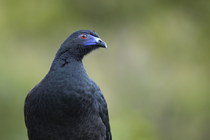 Mohrenguan - Black Guan