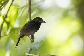 Dunkelgrauer Ameisenfänger - Dusky Antbird