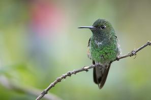 Streifenschanzkolibri - Stripe-tailed Hummingbird