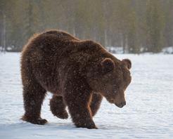 Braunbär Jari Peltomäki