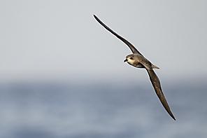 Sturmvögel/-taucher