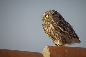 Eulen/Schwalmvögel